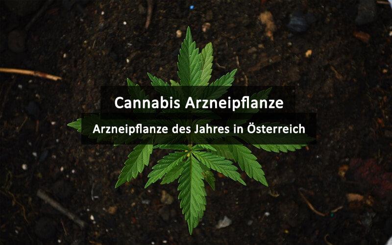 Cannabis Arzneipflanze Des Jahres